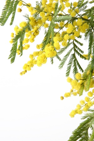 Mimose_6